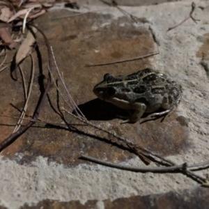 Limnodynastes tasmaniensis at Michelago, NSW - 23 Jan 2018