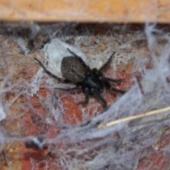 Badumna insignis (Black House Spider) at Aranda, ACT - 31 Dec 2014 by KMcCue