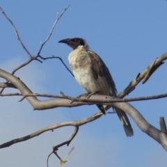 Philemon corniculatus (Noisy Friarbird) at Aranda Bushland - 6 Jan 2015 by KMcCue