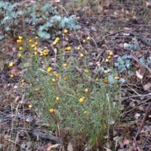 Xerochrysum viscosum at Hughes Grassy Woodland - 24 Nov 2017