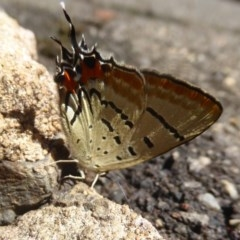 Jalmenus evagoras (Imperial Hairstreak) at ANBG - 29 Jan 2018 by Christine