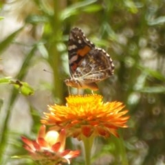 Vanessa kershawi (Australian Painted Lady) at ANBG - 29 Jan 2018 by Christine