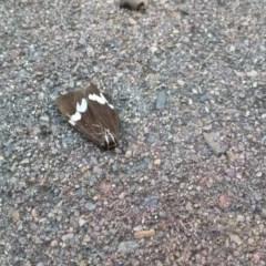 Nyctemera amicus (Senecio or Magpie moth) at Wamboin, NSW - 22 Dec 2017 by natureguy