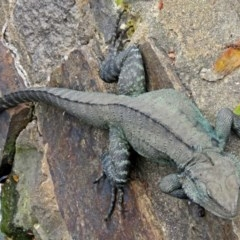Intellagama lesueurii (Eastern Water Dragon) at Commonwealth & Kings Parks - 17 Sep 2016 by RodDeb