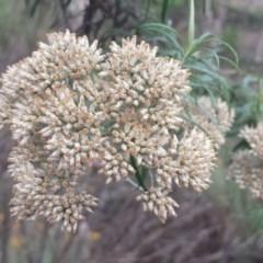 Cassinia longifolia (Shiny Cassinia, Cauliflower Bush) at Federal Golf Course - 30 Jan 2018 by Linden
