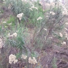 Cassinia longifolia at Federal Golf Course - 31 Jan 2018