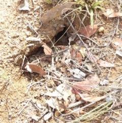 Myrmecia nigriceps (Black-headed bull ant) at Hughes Grassy Woodland - 30 Jan 2018 by JackyF