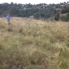 Poa labillardierei (Common Tussock Grass, River Tussock Grass) at Yass, NSW - 1 Feb 2018 by GeoffRobertson