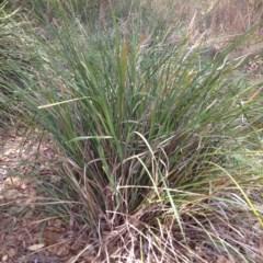 Lomandra longifolia (Spiny-headed Mat-rush / Honey Reed) at Yass, NSW - 1 Feb 2018 by GeoffRobertson