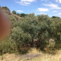 Eucalyptus camaldulensis subsp. camaldulensis (River Red Gum) at Yass, NSW - 1 Feb 2018 by GeoffRobertson
