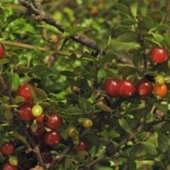 Coprosma hirtella (Coffee-berry) at Namadgi National Park - 31 Jan 2018 by JohnBundock