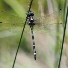 Eusynthemis guttata (Southern Tigertail) at Gibraltar Pines - 29 Jan 2018 by KenT