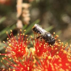 Megachile (Hackeriapis) oblonga at ANBG - 16 Jan 2018