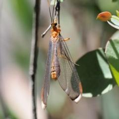 Nymphes myrmeleonoides (Blue Eyes Lacewing) at Gibraltar Pines - 29 Jan 2018 by KenT