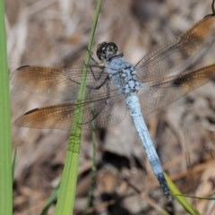 Orthetrum caledonicum (Blue Skimmer) at Gibraltar Pines - 28 Jan 2018 by KenT