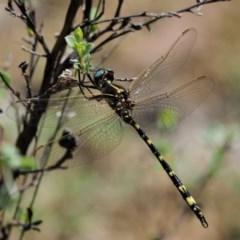 Synthemis eustalacta (Swamp Tigertail) at Gibraltar Pines - 28 Jan 2018 by KenT