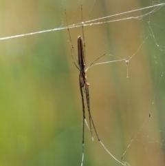 Tetragnatha sp. (genus) (Long-jawed spider) at Gibraltar Pines - 28 Jan 2018 by KenT
