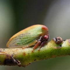 Sextius virescens (Acacia Tree Hopper, Acacia Horned Treehopper) at Gibraltar Pines - 29 Jan 2018 by KenT