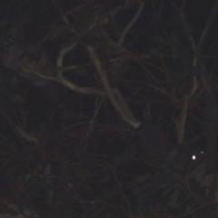 Petaurus breviceps (Sugar Glider) at Hughes Grassy Woodland - 1 Feb 2018 by jennyt