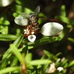 Tachinidae sp. (family) (Unidentified Bristle fly) at ANBG - 2 Feb 2018 by Qwerty