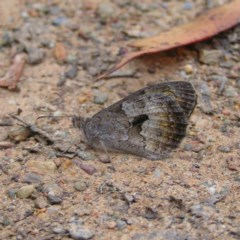 Geitoneura klugii (Marbled Xenica) at Namadgi National Park - 27 Jan 2018 by MatthewFrawley