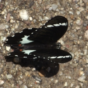 Papilio aegeus at ANBG - 26 Feb 2016