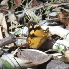 Heteronympha merope (Common Brown) at ANBG - 25 Feb 2017 by KMcCue