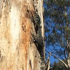 Varanus varius (Lace Monitor) at Nanima, NSW - 3 Oct 2016 by 81mv
