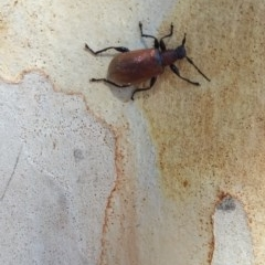 Ecnolagria grandis (Honeybrown beetle) at Wamboin, NSW - 6 Jan 2018 by natureguy