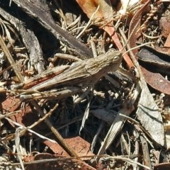 Peakesia hospita (Common Peakesia Grasshopper) at Namadgi National Park - 31 Jan 2018 by RodDeb