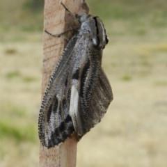 Endoxyla encalypti (Wattle Goat Moth) at Nanima, NSW - 1 Dec 2014 by 81mv