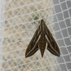 Hippotion celerio (Vine Hawk Moth) at Nanima, NSW - 3 Apr 2015 by 81mv