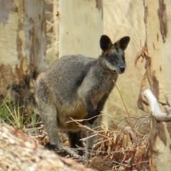 Wallabia bicolor (Swamp Wallaby) at Nanima, NSW - 29 Jan 2013 by 81mv