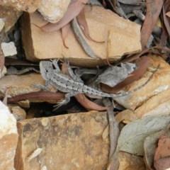 Amphibolurus muricatus (Jacky Dragon) at Nanima, NSW - 29 Nov 2014 by 81mv