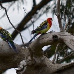 Platycercus eximius (Eastern Rosella) at Hughes Grassy Woodland - 8 Jan 2018 by JackyF