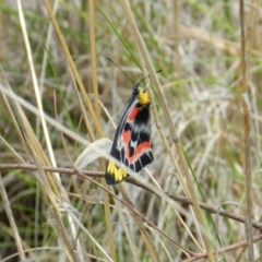 Delias harpalyce (Imperial Jezebel) at Nanima, NSW - 20 Oct 2013 by 81mv