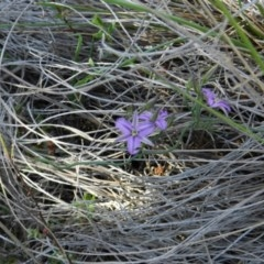 Thysanotus patersonii (Twining fringe lily) at Nanima, NSW - 13 Oct 2013 by 81mv