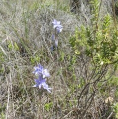 Thelymitra sp. (A sun orchid) at Nanima, NSW - 19 Oct 2013 by 81mv
