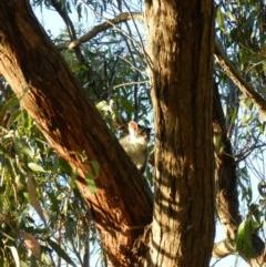 Pseudocheirus peregrinus (Common Ringtail Possum) at Nanima, NSW - 7 Feb 2013 by 81mv