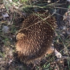 Tachyglossus aculeatus (Short-beaked Echidna) at Red Hill Nature Reserve - 3 Feb 2018 by KL