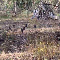 Corcorax melanorhamphos (White-winged Chough) at Red Hill Nature Reserve - 3 Feb 2018 by KL