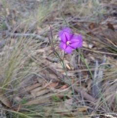 Thysanotus tuberosus subsp. tuberosus (Common Fringe-lily) at Bumbalong, NSW - 30 Dec 2017 by AdamatBumbalong