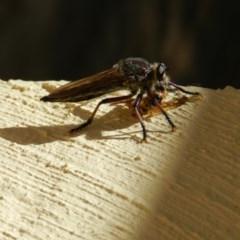 Neoaratus hercules (Robber fly) at Nanima, NSW - 2 Jan 2013 by 81mv