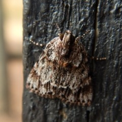 Spectrotrota fimbrialis (A Pyralid moth) at Mount Painter - 3 Feb 2018 by CathB