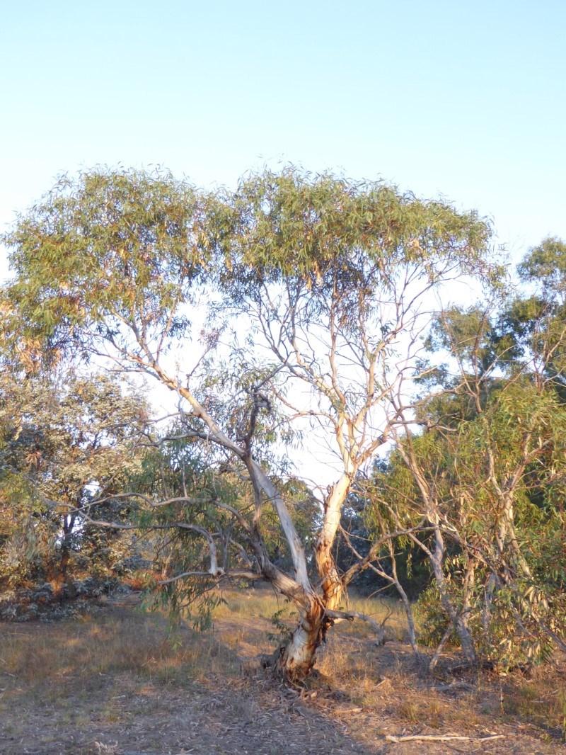 Eucalyptus pauciflora subsp. pauciflora at Deakin, ACT - 4 Feb 2018