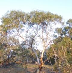 Eucalyptus pauciflora subsp. pauciflora (White Sally, Snow Gum) at Deakin, ACT - 4 Feb 2018 by JackyF