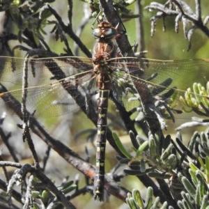 Austroaeschna inermis at Namadgi National Park - 4 Feb 2018