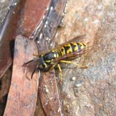 Vespula germanica (European wasp) at Tidbinbilla Nature Reserve - 3 Feb 2018 by MatthewFrawley