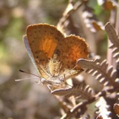 Paralucia aurifer (Bright Copper) at Tidbinbilla Nature Reserve - 2 Feb 2018 by MatthewFrawley
