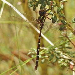 Austroaeschna pulchra (Forest Darner) at Namadgi National Park - 4 Feb 2018 by JohnBundock